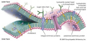 lipid_bilayer