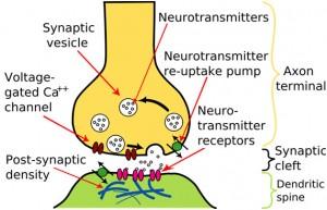 synaptic_transmission_1