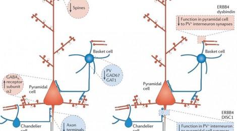 Cortical interneurons