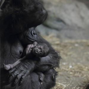 Moka_with_baby_gorilla_at_Pittsburgh_Zoo_12,_2012-02-17 copia