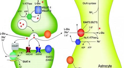 glutamatergic synapse